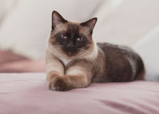 Domestic cat. At home is lying on sofa Stock Photo