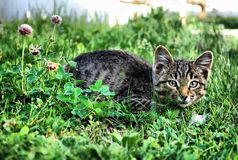 The domestic cat. Royalty Free Stock Photo