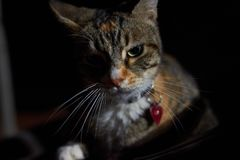Domestic cat badass royalty free stock photo