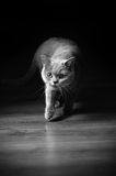 Domestic cat on hunt Stock Image