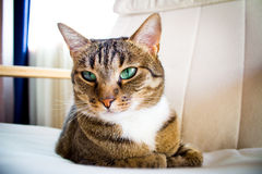 domestic cat indoor facing camera Royalty Free Stock Images