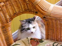 Domestic cat inside home Royalty Free Stock Images