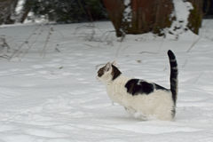 Domestic cat jumping in the snow. Royalty Free Stock Images