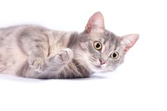 Domestic cat, kitten. Kitten and domestic cat  on white Royalty Free Stock Photography