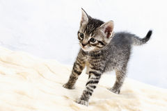 Domestic cat, kitten Royalty Free Stock Images