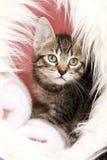 Domestic cat, kitten in basket Stock Photo