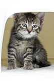 Domestic cat, kitten in box for transport Stock Photo