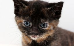 Domestic cat kitten Stock Photography
