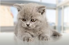 Domestic Cat. Kitten Humor Cute Isolated Pets Animal Royalty Free Stock Images