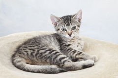 Domestic cat, kitten lying on blanket Royalty Free Stock Photos