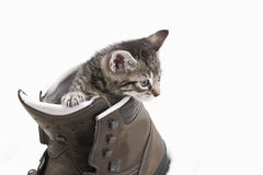Domestic cat, kitten playing with hiking shoe Stock Images