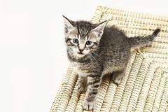 Domestic cat, kitten sitting on carpet Royalty Free Stock Photos
