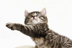 Domestic cat, kitten stretching paw Royalty Free Stock Images