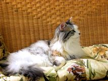 Domestic cat laying on chair inside home Stock Image