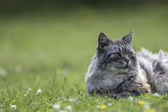 Domestic cat laying on grass with copy space. Domestic cat (this one is actually semi-feral) laying on grass with copy space. Blurred background provides space Stock Image