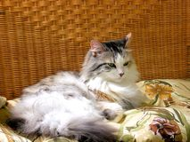 Domestic cat laying in wicker chair inside home Stock Photo