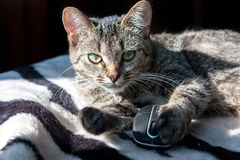 Domestic cat liying on zebra background looking straight with computer mouse in a paw stock images