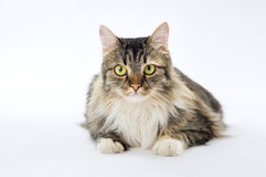 Domestic cat, longhaired tricoloured royalty free stock image
