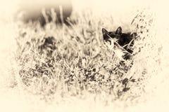 Domestic cat looking at camera behind a tree. Sepia toned. Royalty Free Stock Photo