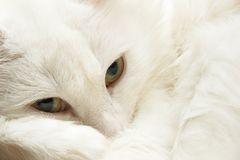 Domestic cat looking at camera. Close-up portrait. Domestic cat looking at camera. Close-up portrait Stock Images