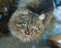 Domestic cat looking in camera. staring eyes Stock Image