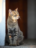 Domestic cat looking into the distance Royalty Free Stock Images
