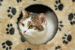 The Domestic Cat Royalty Free Stock Photos