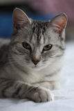 Domestic cat. Is looking straight with the feeling of satisfaction of life Stock Images