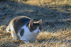 Domestic cat lurking outdoors. Royalty Free Stock Images