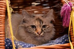 Domestic cat lying in a basket Royalty Free Stock Photo