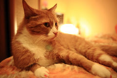 Domestic cat lying in bed Royalty Free Stock Photos