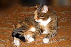 Domestic cat lying on the bedspread. Stock Images