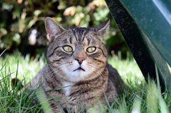 Domestic cat lying in the grass Stock Images