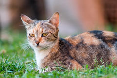 Domestic cat lying in the grass and look ahead Royalty Free Stock Photos