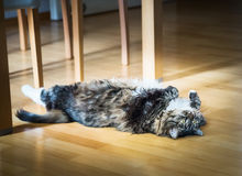 Domestic cat lying  on his back on wooden floor under the table Stock Photography