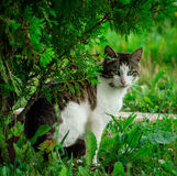 Domestic cat. The domestic cat is a mammal of the family Felidae of Carnivora. Earlier, the domestic cat was often considered as a separate species. From the royalty free stock images