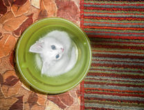 Domestic cat. The domestic cat is a mammal of the family Felidae of Carnivora. Earlier, the domestic cat was often considered as a separate species. From the stock image