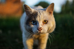 Domestic cat. The domestic cat is the most common pet. Cats are notable for their beautiful coat, expressive eyes, when the eyes of the cat has a large number Royalty Free Stock Images
