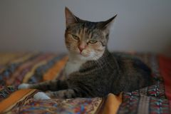 Domestic cat `Mouska` at the time of rest stock photos