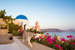 Domestic cat in Oia village, Santorini, Greece. Stock Images