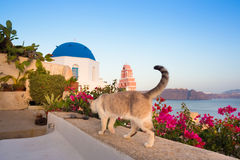 Domestic cat in Oia village, Santorini, Greece. Royalty Free Stock Photography