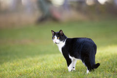 Domestic cat outdoor. Green grass and sun is shining Stock Images