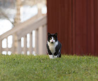 Domestic cat outdoor. Royalty Free Stock Photo