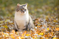 Domestic cat outdoor relaxing in autumn leaves Stock Images
