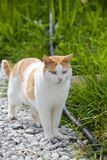 Domestic Cat Outdoors on Gravel Royalty Free Stock Photos