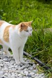 Domestic Cat Outdoors on Gravel Royalty Free Stock Photo