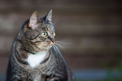 Domestic  cat outdoors sitting near wooden fence Royalty Free Stock Image
