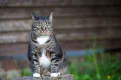 Domestic  cat outdoors sitting near wooden wall Stock Photo