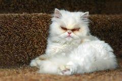 Domestic cat. Persian Cat - Stock Image Stock Images