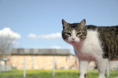 Domestic Cat. Photo of domestic cat looking at camera Stock Images
